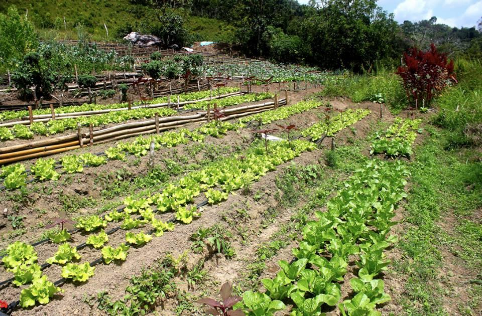Cultivo de hortalizas en el Ecobatey - Rancho Arriba